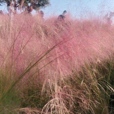 マカオおすすめ新名所!ピンクに染まる秋の絶景・黒沙水庫公園