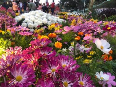 マカオの華やかな冬のフラワーショー菊華艷色耀葡韻INタイパハウス